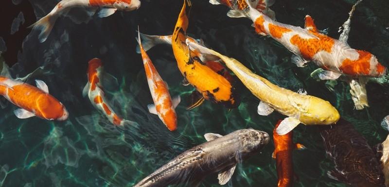 Danmarks billigste kvalitetsfoder til dine fisk i havedammen fås hos Koimad.dk